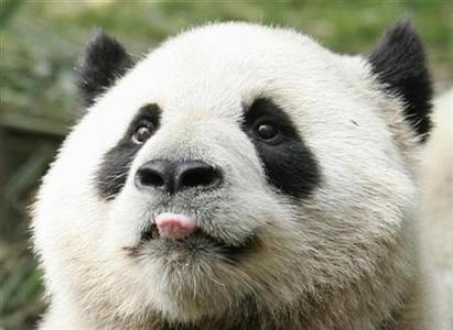 A panda sticks out its tongue for a piece of apple at the Chengdu Research Base of Giant Panda Breeding in Chengdu, Sichuan province, April 17, 2008. REUTERS/Alfred Cheng Jin