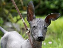 "<p>A four-month old puppy that goes by the name ""Ears"" is seen in Lima November 10, 2008. REUTERS/Mariana Bazo</p>"