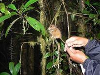 <p>Foto de archivo de un tarsio pgimeo indonesio. En una de las nubosas cumbres de la isla indonesia de Sulawesi, científicos observaron por primera vez en más de ocho décadas a un tarsio pigmeo vivo, uno de los primates más pequeños e inusuales del planeta. REUTERS/Sharon Gursky-Doyen/Texas A&M University/Handout</p>