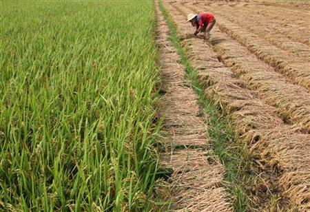 A farmer harvests rice on the outskirts of Wuhan in central China's Hubei province, July 20, 2006. REUTERS/Stringer