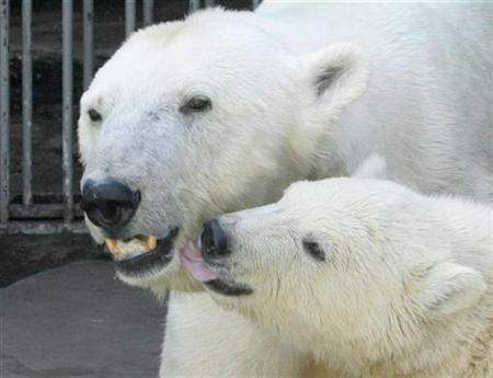 Seven-month-old polar bear cub Nanuq plays with it's mother Olinka at Schoenbrunn Zoo in Vienna June 18, 2008. REUTERS/Herwig Prammer
