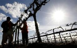"<p>Workers hand prune Merlot vines on a farm owned by Casella Wines near Griffith, 490km (305miles) west of Sydney, in this August 22, 2007 file photo. The latest export figures are depressing reading for Australia's previously all-conquering wine industry, which for decades led the so-called ""New World"" challenge to wine's traditional French, German and Italian strongholds. REUTERS/Tim Wimborne/Files</p>"