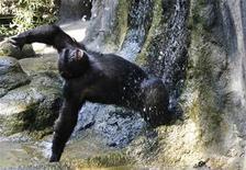 <p>Foto de archivo de un chimpancé en el zoológico de Barcelona, 31 ago 2007. La policía disparó y mató a un chimpancé de 90 kilos que en el pasado actuó en publicidades de televisión después de que el simio atacó a la amiga de su dueña y a un automóvil de la fuerza. REUTERS/Albert Gea</p>