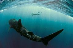 <p>Crisi, attacchi di squali ridotti quest'anno per calo turismo. REUTERS/Rolex/Kurt Amsler/Handout</p>