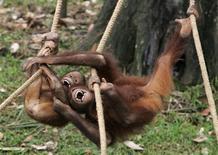 <p>Orangutans play at Orang Utan island, in Bukit Merah Laketown Resort, Perak, 300 kilometres (186 miles) north of Malaysia's capital Kuala Lumpur, March 3, 2009. REUTERS/Zainal Abd Halim</p>