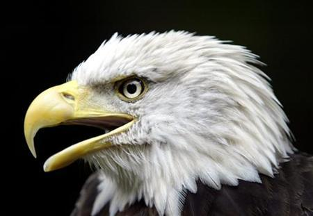 Challenger, a 15-year-old American Bald Eagle, screeches at the new Bald Eagle Refuge Exhibit opening at the National Zoo in Washington in this file photo taken on July 2, 2003. REUTERS/Jason Reed/Files