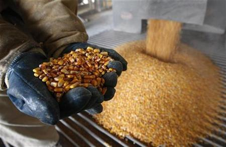 A process operator shows a handful of corn at the GreenField Ethanol plant in Chatham, Ontario, in this April 10, 2008 file photo. REUTERS/Mark Blinch/Files