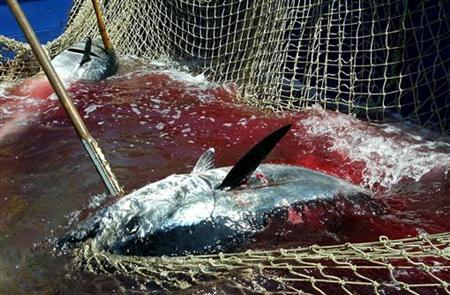 A harpooned bluefin tuna caught in fishing net, June 07, 2003. REUTERS/Tony Gentile