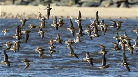 Shorebirds of several varieties flock togther as they arrive along Pickering beach, a national horseshoe crab sanctuary near Little Creek, Delaware, May 20, 2008. REUTERS/Mike Segar