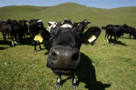 Cows feed on grass as they roam the hills near Pleasanton, California March 23, 2007. REUTERS/Mike Blake