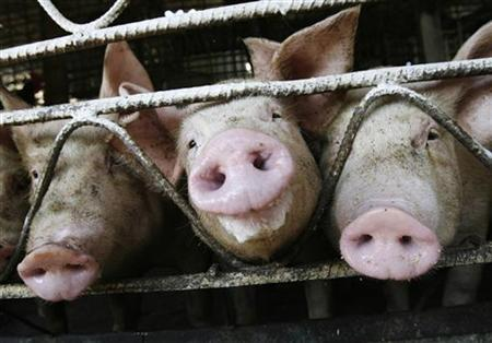 Pigs stick out their snouts through a fence at a farm in the countryside on the outskirts of Havana September 18, 2007. REUTERS/Claudia Daut
