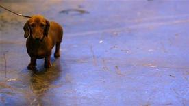 <p>Foto de archivo de un perro raza Dachshund durante su participación en el concurso canino Crufts en Birmingham, Inglaterra, 9 mar 2008. Chanel, la perra más vieja del mundo, celebró el miércoles sus 21 años con un certificado del libro de récords de Guinness y una visita a un hotel y spa canino. REUTERS/Alessia Pierdomenico</p>
