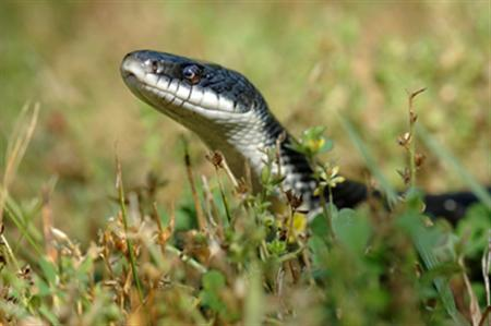 A rat snake in an undated photo. REUTERS/HO/File