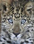 <p>Африканский леопард в зоопарке Ghamadan под Амманом 18 ноября 2008 года. Пакистанские охотники пытаются поймать дикого леопарда, бродящего по территории резиденции премьер-министра страны Юсуфа Раза Гилани, сообщили чиновники в понедельник. REUTERS/Ali Jarekji</p>