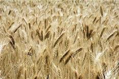 <p>This undated file image shows a field of wheat REUTERS/Handout</p>