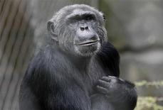 <p>El chimpancé Pedro dentro de su cercado en el Zoológico de Berlín, 9 jun 2009. Un chimpancé llamado Pedro le arrancó un dedo al director del Zoológico de Berlín, famoso por alojar al cachorro de oso polar Knut. Bernhard Blaszkiewitz, de 51 años, estaba dando nueces a Pedro mientras mostraba el zoológico a un visitante, cuando el chimpancé tomó la mano derecha del hombre y le arrancó el dedo índice de un mordisco. REUTERS/Fabrizio Bensch</p>