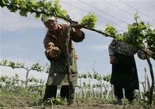 <p>Молдавские крестьяне собирают виноград в окресностях Кишинева 22 мая 2009 года. Экономика Молдавии сократится в нынешнем году как минимум на 9 процентов, сообщил сегодня Международный валютный фонд, призвав власти страны внести изменения в бюджет и заявив о готовности помочь бывшей советской республике при поступлении такой просьбы. REUTERS/Konstantin Chernichkin</p>