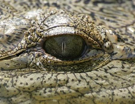 A crocodile rests in a stream at a zoo named Animal City near Beirut September 16, 2005. REUTERS/Jamal Saidi