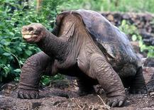 """<p>""""George il solitario"""", una tartaruga di 90 anni delle Galapagos. REUTERS Pictures</p>"""