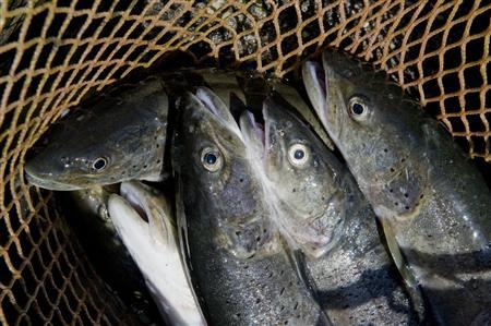 Steelheads (Hucho hucho) to be sorted for market are seen in a net in a fish-farm in the village of Vrhnika, near Loz, south Slovenia, July 28, 2009. REUTERS/Srdjan Zivulovic