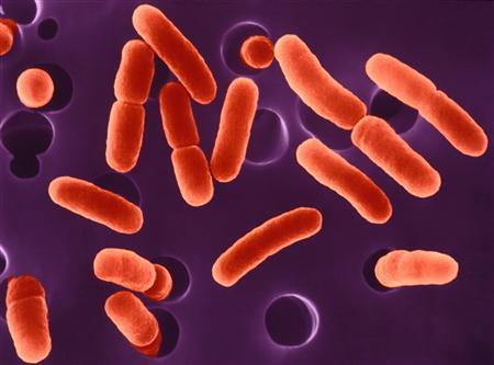 Hemorrhagic E. coli in the process of dividing, mag. 2575x, is seen in this undated handout photo. REUTERS/Newscom/Handout