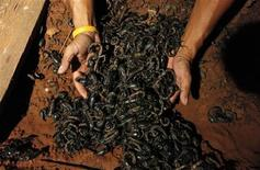 <p>Suang Puangsri, 38, scoops up scorpions with his hands at his home in Uttaradit province, 600 km (373 miles) north of Bangkok September 4, 2009. REUTERS/Sukree Sukplang</p>