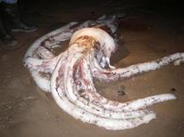 <p>Туша гигантского кальмара на побережье Тасмании 10 июля 2007 года. Американские ученые выловили шестиметрового гигантского кальмара из вод Мексиканского залива, заявило в понедельник министерство внутренних дел США. REUTERS/Tasmanian Parks and Wildlife Service/Chris Arthur</p>