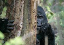 <p>Un gorilla di montagna nella foresta dell'Uganda. 2 luglio 2009. REUTERS/Molly Riley</p>
