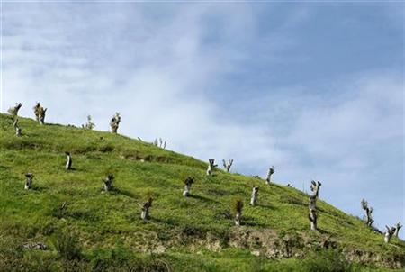 Avocado trees that have been stumped are seen on a hillside in Fallbrook, California March 3, 2009. WATER/AGRICULTURE REUTERS/ Mike Blake