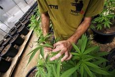 <p>Un lavoratore israeliano controlla delle piantine di cannabis, coltivate per scopi medici, vicino Ashkelon. REUTERS/Amir Cohen</p>