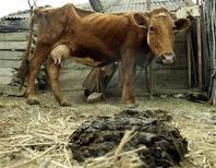 <p>Une usine spécialisée dans la transformation des bouses de vache en énergie pour les habitations est entrée en activité vendredi aux Pays-Bas. /Photo d'archives/REUTERS/David Mdzinarishvili</p>
