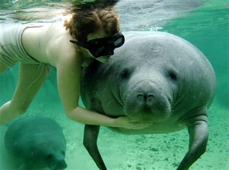 A woman pets an endangered Manatee while swimming in the Crystal River in Homosassa, Florida, February 9, 2005. REUTERS/Marc Serota