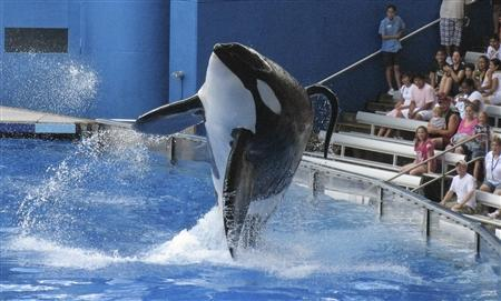 Tillikum, a killer whale at SeaWorld amusement park, performs during the show ''Believe'' in Orlando, September 3, 2009. A killer whale at the SeaWorld amusement park in central Florida killed a trainer on February 24, 2010, police and company executives said. According to the Orlando Sentinel the orca involved in the incident, named Tillikum but popularly known as ''Tilly,'' has a controversial past. REUTERS/Mathieu Belanger/Files