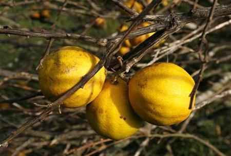 Oranges are seen on the tree in Ceiba del agua, Cuba September 16, 2008.  REUTERS/Enrique de la Osa