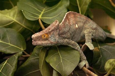 A chameleon sits on a tree at the zoo in Zurich November 19, 2008. REUTERS/Arnd Wiegmann