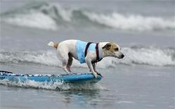 <p>Un Jack Russel fa surf sulle onde di Del Mar, in California (foto di repertorio) REUTERS/Mike Blake</p>