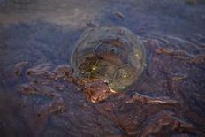 <p>Foto de archivo de una tortuga marina cubierta de crudo del derrame Deepwater Horizon en la isla Grand Terre en Luisiana, EEUU, jun 8 2010. La tormenta tropical Alex se convertiría en huracán el martes, con fuertes vientos y oleaje que dificultarían las tareas de BP para contener el derrame de petróleo en el Golfo de México, el mayor de la historia de Estados Unidos. REUTERS/Lee Celano/Files</p>