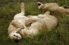 <p>Two lionesses sleep on the plains of Masai Mara game reserve November 11, 2008. Picture taken November 11, 2008. REUTERS/Laszlo Balogh</p>