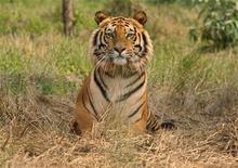 <p>Foto de archivo de un tigre de bengala en Jaldapara, India, feb 21 2010. Guardaparques capturaron el miércoles en una granja de Sudáfrica a un tigre que escapó hace dos días, luego de una intensa búsqueda que dominó los informativos. REUTERS/Rupak De Chowdhuri</p>
