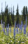 <p>Поляна с цветами в природном парке Ергаки, расположенном на территории Красноярского края, 22 июля 2007 года. Москвичей ждут первые после двух месяцев рекордной жары прохладные выходные со средней дневной температурой около 20 градусов тепла, ожидают синоптики. REUTERS/Ilya Naymushin</p>