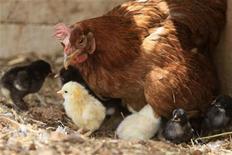 <p>Курица с циплятами на ферме в деревне Кфар-Руман на юге Ливана 6 июня 2010 года. Ученые Кембриджского и Эдинбургского университетов смогли создать генетически модифицированных цыплят, которые не могут быть переносчиками птичьего гриппа. REUTERS/Jamal Saidi</p>