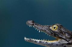 <p>Четырехмесячный крокодил в зоопарке Hagenbeck в Гамбурге 29 декабря 2010 года. Украинские ветеринары борются за жизнь 14-летнего крокодила из одесского океанариума, проглотившего мобильный телефон, выпавший из рук посетительницы зоопарка. REUTERS/Christian Charisius</p>