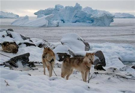 Sled dogs stand in the snow near a large iceberg in the town of Uummannaq in western Greenland March 18, 2010. REUTERS/Svebor Kranjc