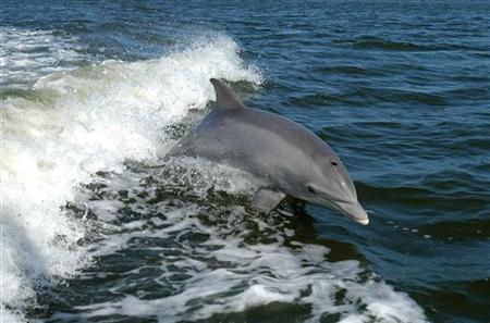 A bottlenose dolphin breaks the surface near Kennedy Space Center in this 2009 photo released by the United States Department of Fish and Wildlife March 3, 2011. REUTERS/USFW/Handout