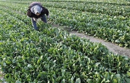 Teruko Saka, 80-year-old farmer, weeds a spinach field in Moriya, Ibaraki prefecture, north of Tokyo, March 20, 2011, nine days after an earthquake and tsunami hit Japan. REUTERS/Jo Yong-Hak