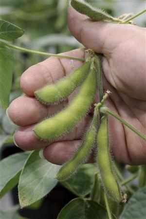 Nancy Brumley, Monsanto Soybean Plant Specialist, holds a genetically modified four sprout soybean in the soybean greenhouse at the Monsanto Research facility in Chesterfield, Missouri, October 9, 2009. REUTERS/Peter Newcomb