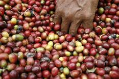 <p>A farmer picks coffee fruits during a harvest in the Karo district in Indonesia's North Sumatra province February 25, 2011. REUTERS/Y.T. Haryono</p>