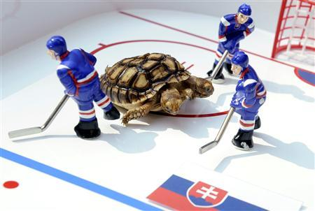 A two-headed African spurred tortoise named Magdalena moves around a small-scale model of an ice hockey rink, predicting hosts Slovakia would beat Slovenia in the opening match at the upcoming ice hockey World Championship on Friday, at Magdalena's hometown in Zilina April 28, 2011. REUTERS/Radovan Stoklasa