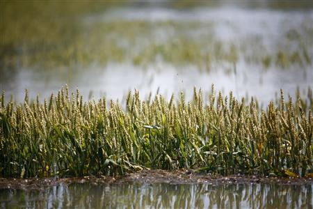 Wheat is partially submerged in floodwaters in Holly Grove, Arkansas May 10, 2011. REUTERS/Eric Thayer