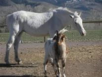 <p>Sissy, a blind quarter horse, is guided by a seeing-eye entourage of five goats and five sheep at an animal shelter in Montana near Yellowstone National Park in this undated handout photo. Michelle Feldstein was prepared to provide special accommodations for the blind horse she recently added to the assortment of flightless ducks, clawless cats and homeless llamas inhabiting her animal shelter in Montana. But nothing could prepare Feldstein, a 19-year veteran at accepting unwanted pets and livestock, for the 40-legged, seeing-eye entourage that accompanied the sightless, 15-year-old quarter horse. REUTERS/Michelle Feldstein/Deer Haven Ranch/Handout</p>